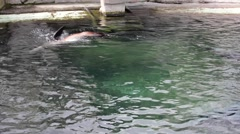 California sea lions swimming in the zoo Stock Footage