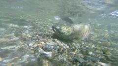 Underwater slow motion wild Alaskan pink and keta salmon swimming upstream Stock Footage