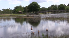 Sandhill crane family with chicks in Florida wade across a pond - stock footage