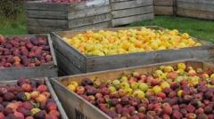apple orchard bins - stock footage