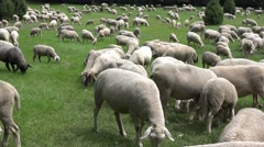 flock of sheep on alpine meadow - stock footage