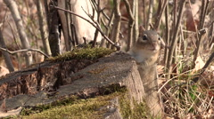 Stock Video Footage of Chipmunk by its Nest