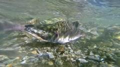 Underwater slow motion wild Alaskan pink and keta salmon running upstream - stock footage