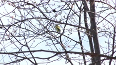 American Goldfinch Perched in a Tree Singing Stock Footage