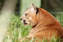 Beautiful mountain lion portrait  at the zoo ( Puma concolor ) Kuvituskuvat