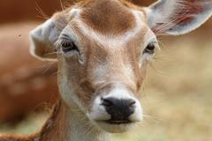 fallow deer doe trying to get rid of flies using her ear ( Dama ) - stock photo