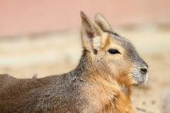 Patagonian mara portrait, animal from the zoo ( Dolichotis patagonum ) Stock Photos