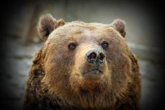 Huge brown  bear portrait, looking towards the camera,  with vignette ( Ursus Stock Photos