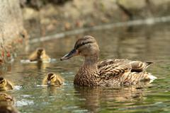 female mallard duck with offspring ( Anas platyrhynchos ) - stock photo