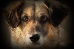feral cute dog portrait with added vignette - stock photo