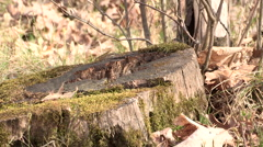 Chipmunk sitting on a Log with Background Nature Sound Stock Footage