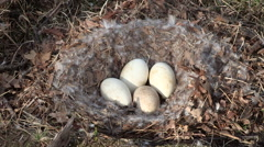 Goose Nest with Four Eggs Stock Footage