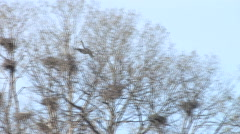 Blue Heron Landing on Tree Branch with sound Stock Footage