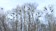 Blue Heron Nests Rookery Colony Stock Footage