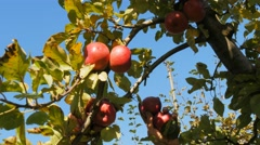Picking ripe apples Stock Footage