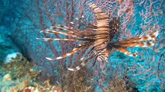 Lionfish on a gorgonian coral Stock Footage