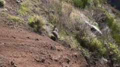 4k Red-legged partridge on Madeira mountain zoom shot Stock Footage