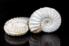 Ammonites (Pleuroceras sp. from the Lower Jurassic of Southern Germany) on a Stock Photos