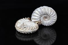 Ammonites (Pleuroceras sp. from the Lower Jurassic of Southern Germany) on a - stock photo