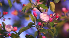 Pink Apple Blossoms Stock Footage