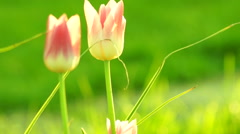 ThreeTulips in Sunset Stock Footage