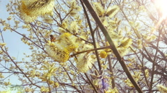 Beautiful Willow in Sunny Spring. Bees and Pollen. HD 1080. Stock Footage