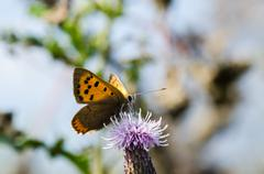 Small Butterfly on a Thistle Flower - stock photo