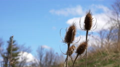 Dry Wild Teasel Stalks and Scenic Sky Stock Footage