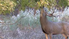 Mule Deer Buck Eats Overhead Leaves & Looks At Other Deer Stock Footage