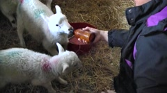 Feeding Lambs, Dingle, Ireland Stock Footage