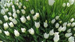 Overfly a variety of white tulips Stock Footage