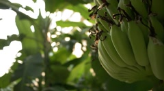 Growing green bunch of bananas on plantation, close up of bananas Stock Footage