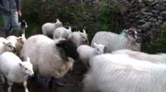 Sheep Herding of Dingle, Ireland  Stock Footage