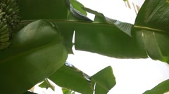 Growing green bunch of bananas on plantation Stock Footage
