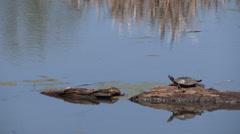 Painted Turtle Sunbathing on a Log Stock Footage
