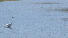 Great Egret Wading in Water Stock Footage