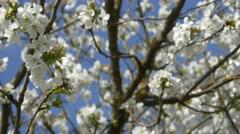 Cherry blossom tree branch 4k flowers spring springtime blue sky background Stock Footage