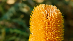 Close Up Of A Banksia Flower Stock Footage