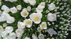 A lot of white tulips swaying in the wind - stock footage