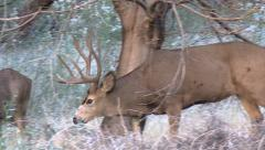 Close Up of Dominant Rutting Buck Following A Doe in Heat Stock Footage