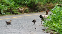 Hen and chicken on the road Stock Footage