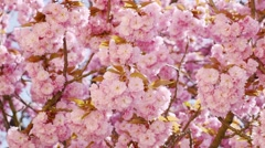 Sakura cherry flowers in blossom tree, panorama and sun on background Stock Footage