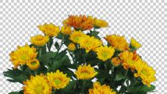 Time-lapse of opening orange chrysanthemum flower buds with ALPHA channel Stock Footage