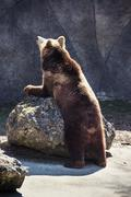 Brown bear (Ursus arctos arctos) - stock photo