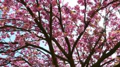 Sakura cherry flowers in blossom tree, panorama and sun on background Stock Footage