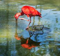Scarlet ibis with reflection in water - stock photo
