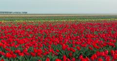 Dutch Tulip Fields - 4k Time Lapse Stock Footage