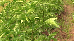 Potato plant swing in wind. Farming and harvest. Stock Footage