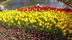 A lot of red and yellow tulips swaying in the wind near the lake Stock Footage