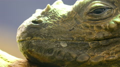 The face and head of the iguana in a glass Stock Footage